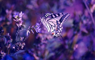 Butterfly_Die