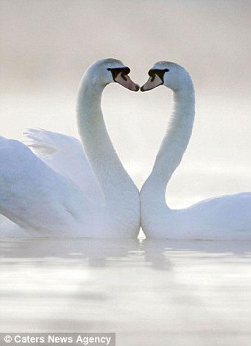 Đôi thiên nga tạo thành hình trái tim rất đẹp.