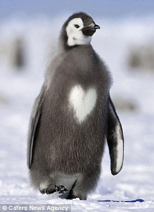 Hình trái tim trên cơ thể chim cánh cụt.