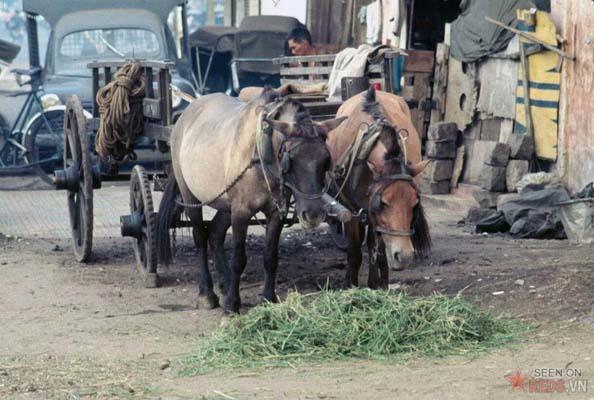 Tháng 10/1968. Giờ nghỉ của nhưng chú ngựa kéo xe.